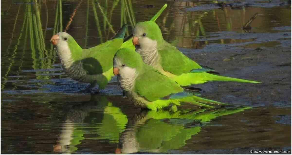 El Ayuntamiento quiere controlar a las cotorras y las palomas - La Voz de Almería