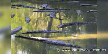 Zoocriadero Curazao, el refugio de los caimanes del Magdalena - El Nuevo Dia (Colombia)
