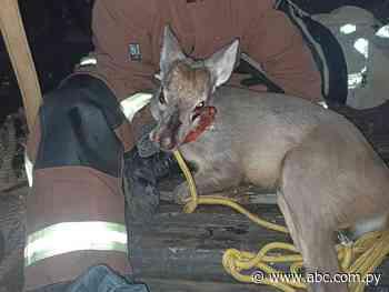 Rescatan un guasu puku herido en Carapeguá y aguardan que Mades encuentre un lugar para el animal - Nacionales - ABC Color