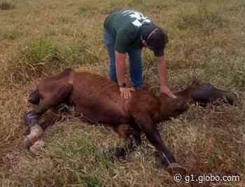 Polícia investiga maus-tratos a cavalo encontrado abandonado em Piraju - G1