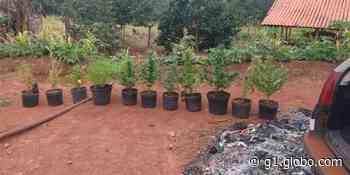 Homem de 26 anos é preso por cultivar maconha em Piraju - G1