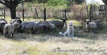 Su perro no regresó al corral con las ovejas y lo encontró haciendo algo sorprendente - Yahoo Deportes