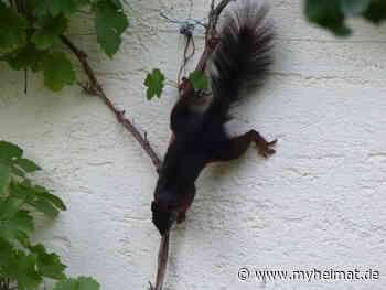 Eichhörnchen an der Hauswand - Landsberg am Lech - myheimat.de