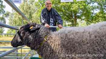 Aus Milky wird Miss Niedersachsen: Schaf aus Achim gewinnt bei Körung - WESER-KURIER - WESER-KURIER