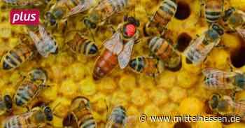 Herborn 95 Bienenköniginnen auf Hochzeitsreise in Herborn - Mittelhessen