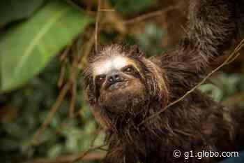 Bicho-preguiça é resgatado no Capricórnio em Caraguatatuba - G1