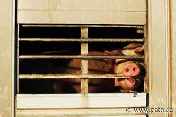 Langstreckentransporte stoppen! So helfen Sie den Tieren - PETA Deutschland e.V.