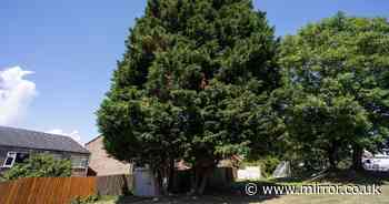 Beloved 70ft trees slapped with ASBO and ordered to be chopped down