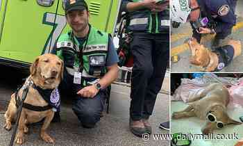Emotional support dog who helped families after Miami condo collapse is left unable to walk