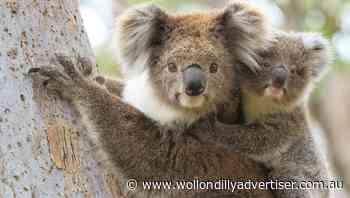 Success in Koalatown's first year - Wollondilly Advertiser