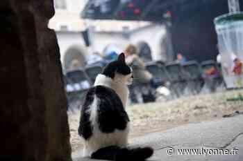 Julio, Pop's... Qui sont ces chats devenus des mascottes à Auxerre ? - Auxerre (89000) - L'Yonne Républicaine