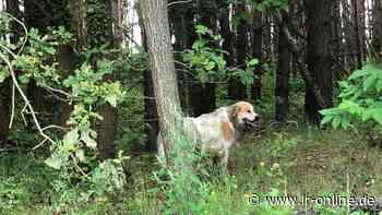 Hund bei Finsterwalde entlaufen: Junge Staupitzer haben großen Herdenschutzhund eingefangen - Lausitzer Rundschau