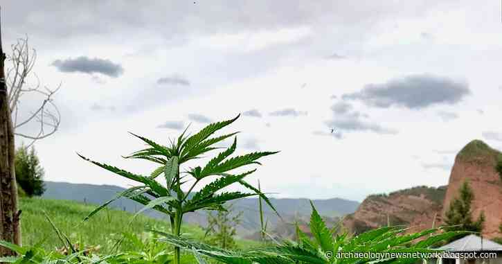 Cannabis first domesticated in China 12,000 years ago: study reveals