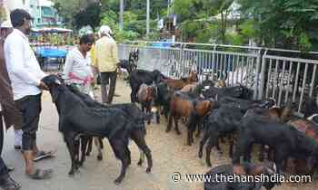GHMC moving impounded animals to its care centres - The Hans India