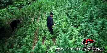"""Piana di Gioia Tauro, sequestrata piantagione di """"marijuana"""" da 125 esemplari - Corriere della Calabria"""