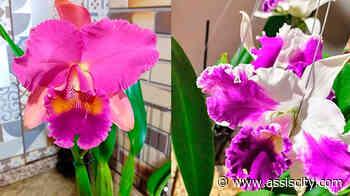 Fundo Social de Solidariedade de Assis realiza troca de leite por mudas de orquídeas - Assiscity - Notícias de Assis SP e região hoje