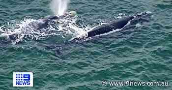 Whales seen close to shore on Victoria's Mornington Peninsula - 9News