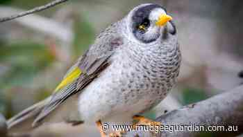 Opportunist invaders: Secret to controlling Noisy Miners - Mudgeee Guardian