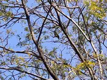 Papagaio pede socorro em árvore de Jardim da Penha e moradores acionam Semmam - Defesa - Agência de Notícias