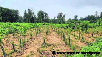 Unkrautjäten im Werler Stadtwald in den Neuanpflanzungen - Soester Anzeiger