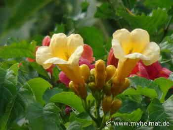 Nun habe ich auch die gelben Blüten gefunden ! - Lutherstadt Wittenberg - myheimat.de - myheimat.de