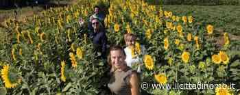 Il labirinto di girasoli di Ornago cede al maltempo: «Chiudiamo, ci vediamo in autunno» - Il Cittadino di Monza e Brianza