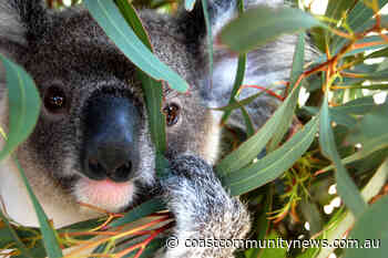 Comments on: Pearl Beach closer to hosting Koala colony - Central Coast Community News