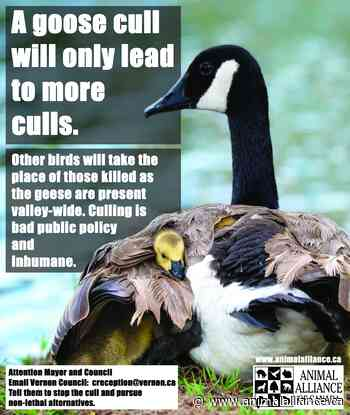 Vernon goose cull is unscientific and doomed to fail
