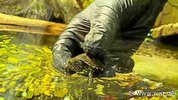 15 neue Schildkrötenbabys ziehen ins Sea Life Oberhausen - WAZ News