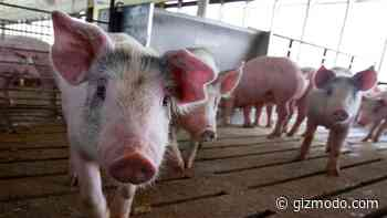 Ebola-Like Pig Illness Pops Up in Germany, Doesn't Pose a Threat to Humans - Gizmodo