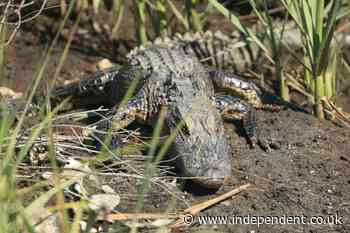Man finds neighbour's escaped pet alligator in backyard
