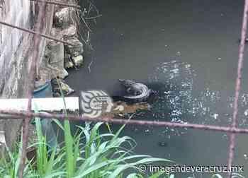 Pequeño lagarto causó temor entre vecinos de la colonia Guadalupe Tepeyac - Imagen de Veracruz