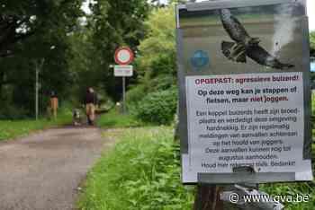 Buizerd valt opnieuw loper aan in Stropersbos (Sint-Gillis-Waas) - Gazet van Antwerpen Mobile - Gazet van Antwerpen