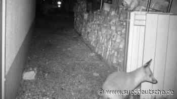 Gauting: Füchse haben es auf Damenschuhe abgesehen - Süddeutsche Zeitung