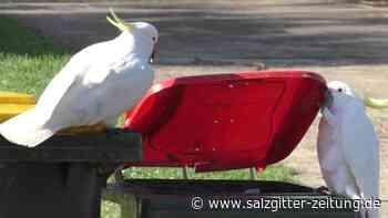 Kakadus lernen das Öffnen von Mülltonnen voneinander - Salzgitter Zeitung