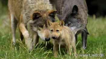 Welpen gefunden: Plötzlich ist ein Wolf zu Hause