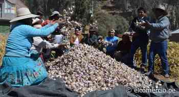 Puno: pobladores incursionan en el cultivo de ajo orgánico para reactivar su economía golpeada por el COVID-19 - El Comercio Perú