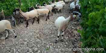 El sostenible equilibrio de ovejas y cepas en viñedos del Baix Penedès - Diari de Tarragona