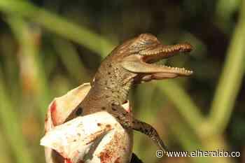 Nacieron los primeros caimanes aguja en el Centro de Fauna de Cerrejón - EL HERALDO