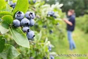 Halterns Obstbauern müssen gegen Beeren-Boom kämpfen - Ruhr Nachrichten