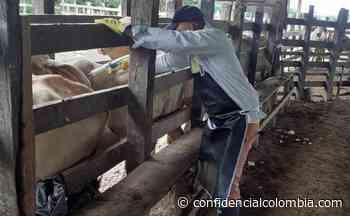 Arauca, Casanare, Guaviare y Sucre lideran vacunación contra la fiebre aftosa - Confidencial Colombia