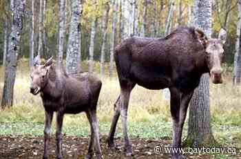 $20,000 fine for poacher who illegally shot cow moose and calf in Chisholm