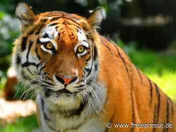 Tiger-Dame Irina im Zoo Hoyerswerda gestorben - Freie Presse