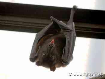 Nei pipistrelli un nuovo coronavirus: ecco perché non fa (ancora) paura