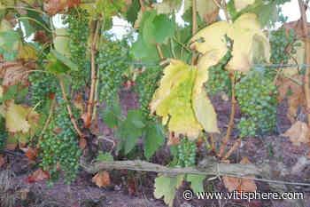 Viticulture / oenologie -Viticulture- : Avis de sécheresse sur le vignoble du Roussillon - Vitisphere.com