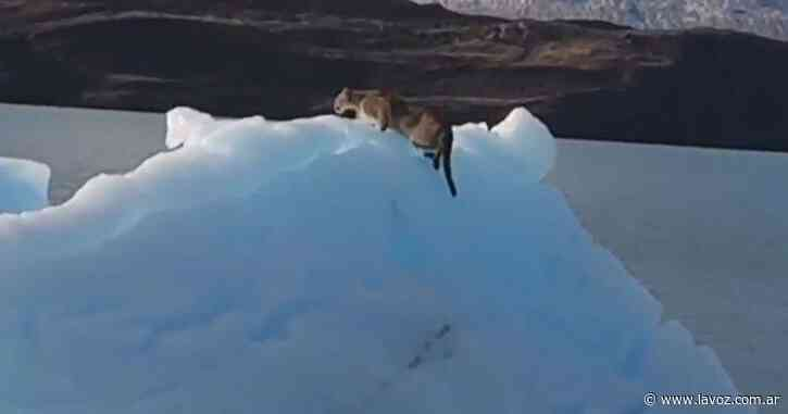 Sorpresa en El Calafate: encontraron a un puma caminando sobre un iceberg - La Voz del Interior