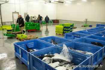 Saint-Jean-de-Luz et Ciboure : à la criée, pleine saison pour les « thons thons » pêcheurs - Sud Ouest