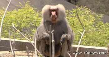 San Diego Zoo and Safari Park giving animals coronavirus vaccine - 10News