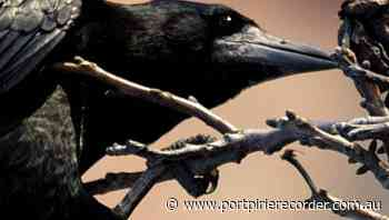 Clever crows craft tools from plants - The Recorder