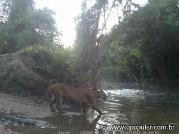 Onça é flagrada pela primeira vez em reserva particular de Niquelândia, em Goiás - O Popular
